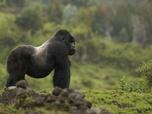 Replay Les derniers gorilles de montagne